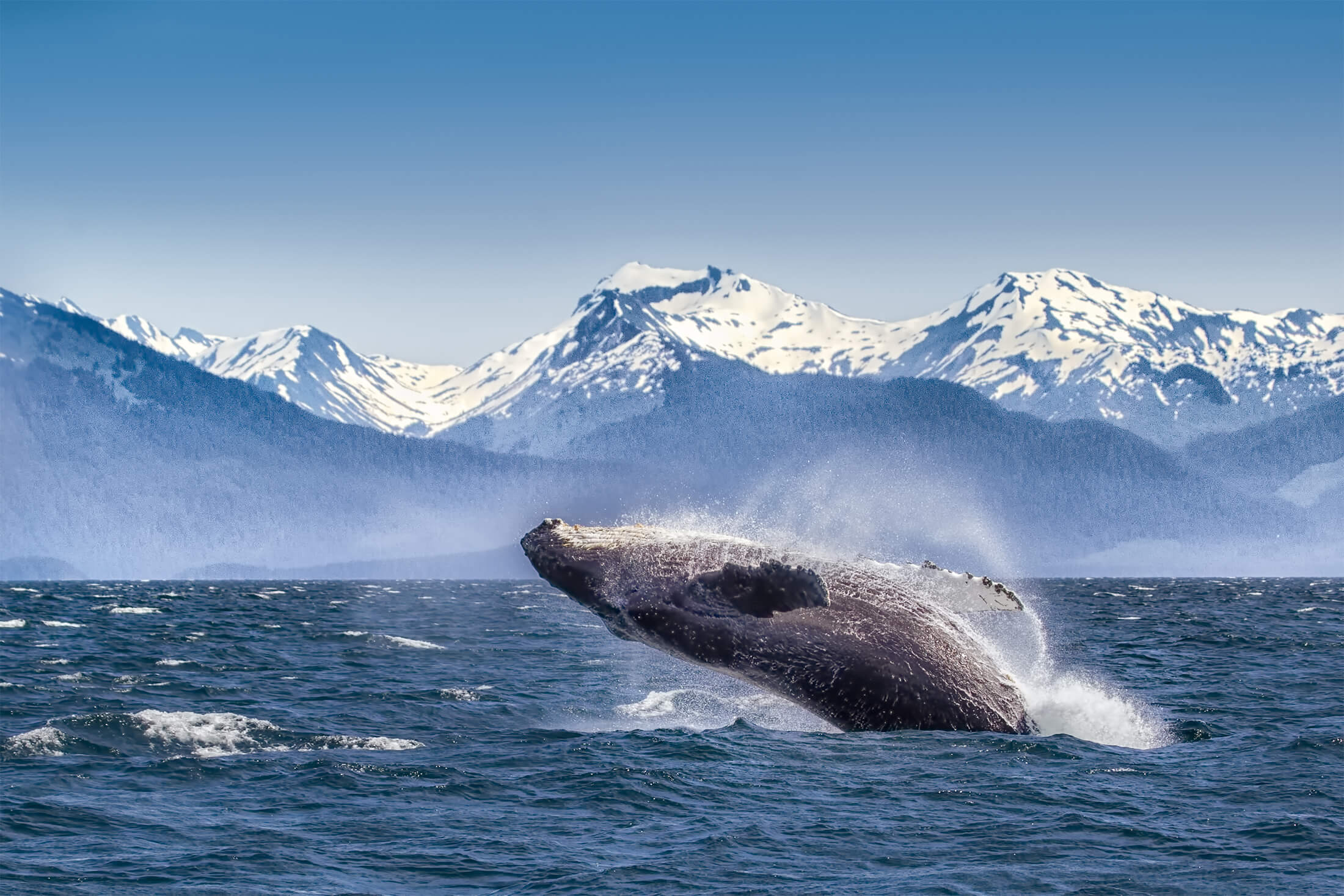 Whale jumping out of the ocean in Alaska